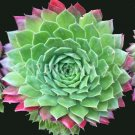 Sempervivum 'Pacific Blazing Star' Octobre