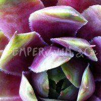 Sempervivum 'Pluto'