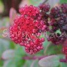 Hylotelephium telephium 'Red Cauli'