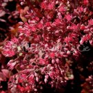 Hylotelephium 'Ruby Glow'