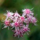 Hylotelephium sieboldii 'Mediovariegatum'