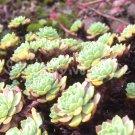 Rhodiola pachyclados Décembre