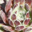 Sempervivum arachnoïdeum 'Arendsii' avril