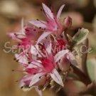 Phedimus spurius 'Tricolor'