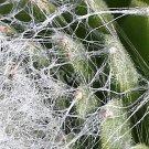 Sempervivum arachnoïdeum 'Boule de neige' avril