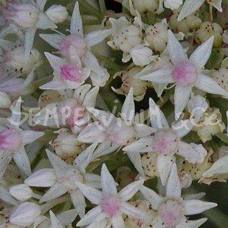 Hylotelephium erythrostictum 'Frosty Morn'