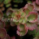 Phedimus spurius 'Summer Glory'