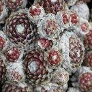 Sempervivum arachnoïdeum 'Bupulum' mars