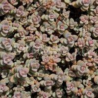Hylotelephium pluricaule var. ezawe