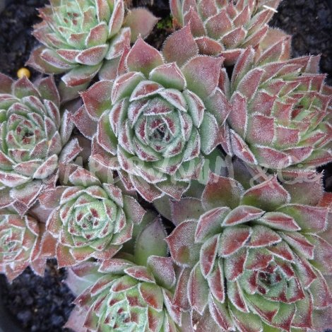 Sempervivum 'Sea Green' Avril