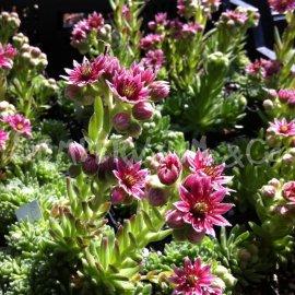 Sempervivum arachnoïdeum 'Andorra' Juin