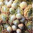 Sempervivum arachnoïdeum 'Fr Palliviflora ' Juillet