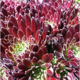 Sempervivum 'Crimson Velvet' Mars