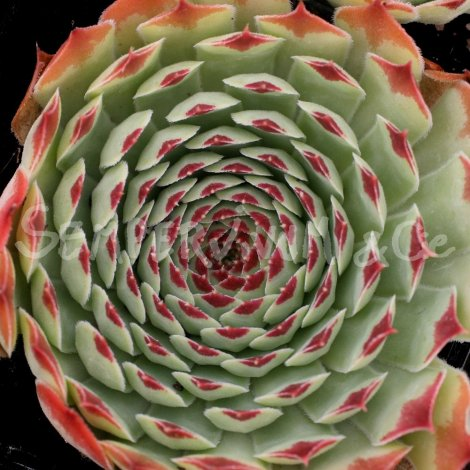 Sempervivum calcareum 'Sir William Laurence' aout