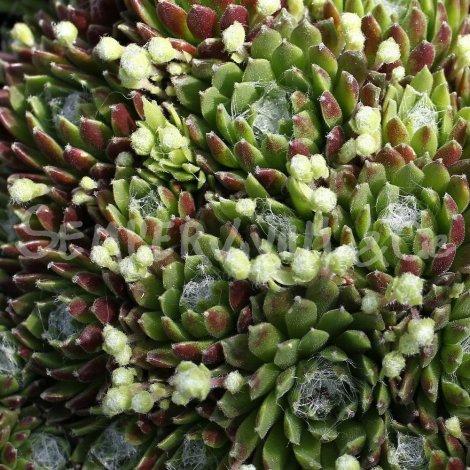 Sempervivum arachnoïdeum 'Discoformis' mars