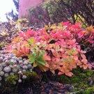 Phedimus ellacombianus avec son feuillage d'automne