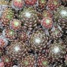 Sempervivum arachnoideum 'Fr Fextal' mars