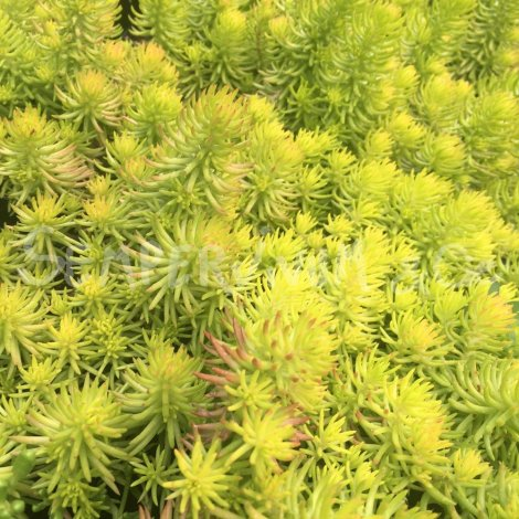 Sedum 'Yellow Cushion' Août