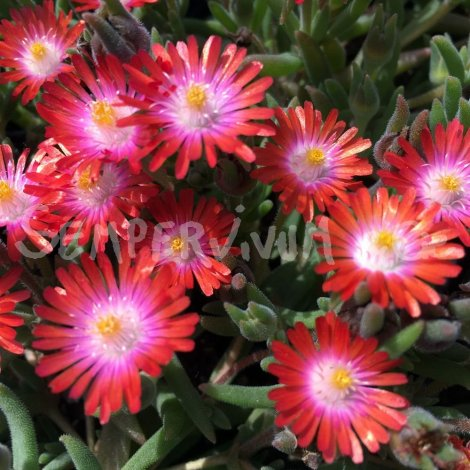 delosperma 39 garnet 39 pourpier vivace ficoide producteur. Black Bedroom Furniture Sets. Home Design Ideas