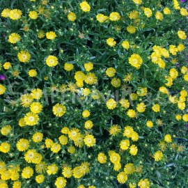 Delosperma 'WOW Golden' en Août