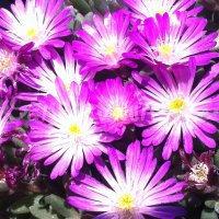 Delosperma 'Beaufort Select'