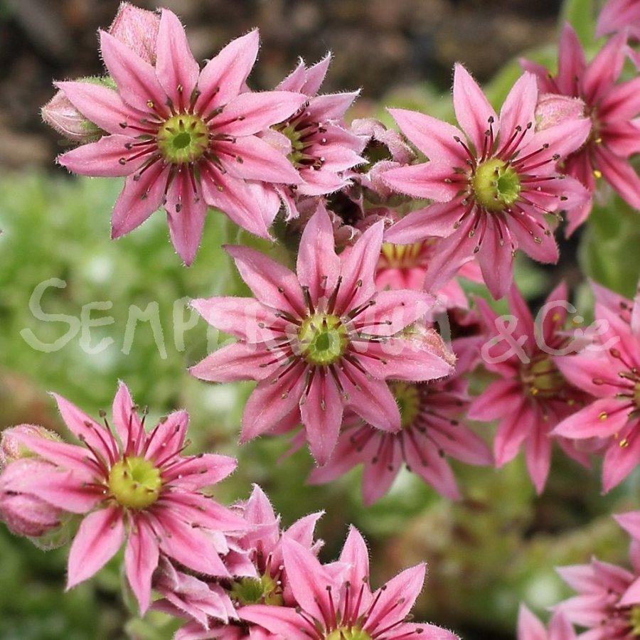 Fleurs rose à 10 pétales de Sempervivum arachnoideum fr-fextal