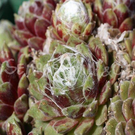 Sempervivum arachnoïdeum 'Bascour Silver' avril