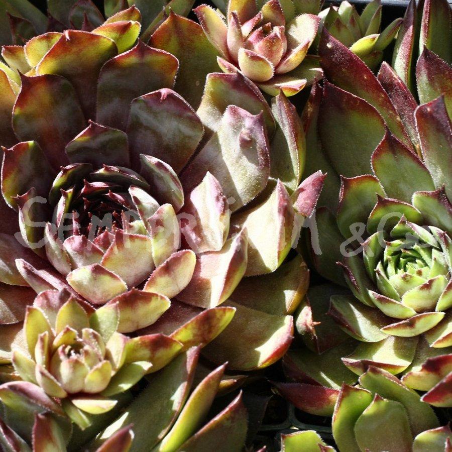 Sempervivum 39 zircon 39 joubarbe vivace r sistante au froid for Plante grasse exterieur vivace