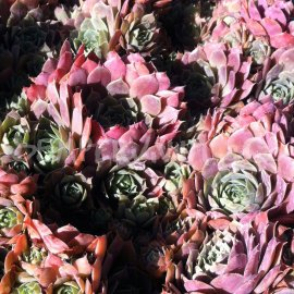 Sempervivum 'Launcelot' Août