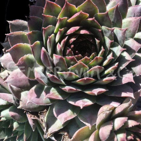 Sempervivum 'Grey Lady' Janvier