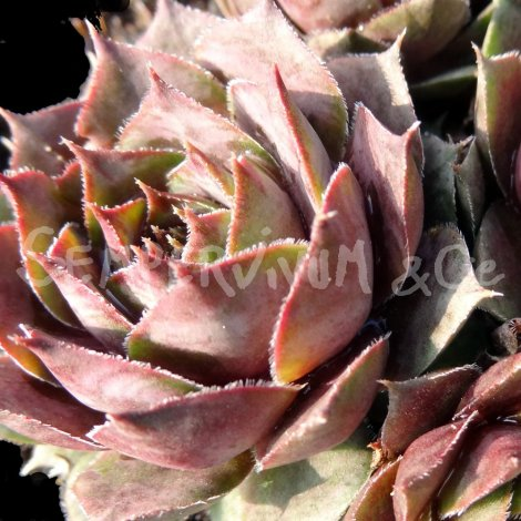 Sempervivum  'Blue Boy' Avril