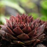 Sempervivum  'Athen'