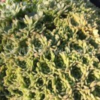 Prometheum chrysanthum