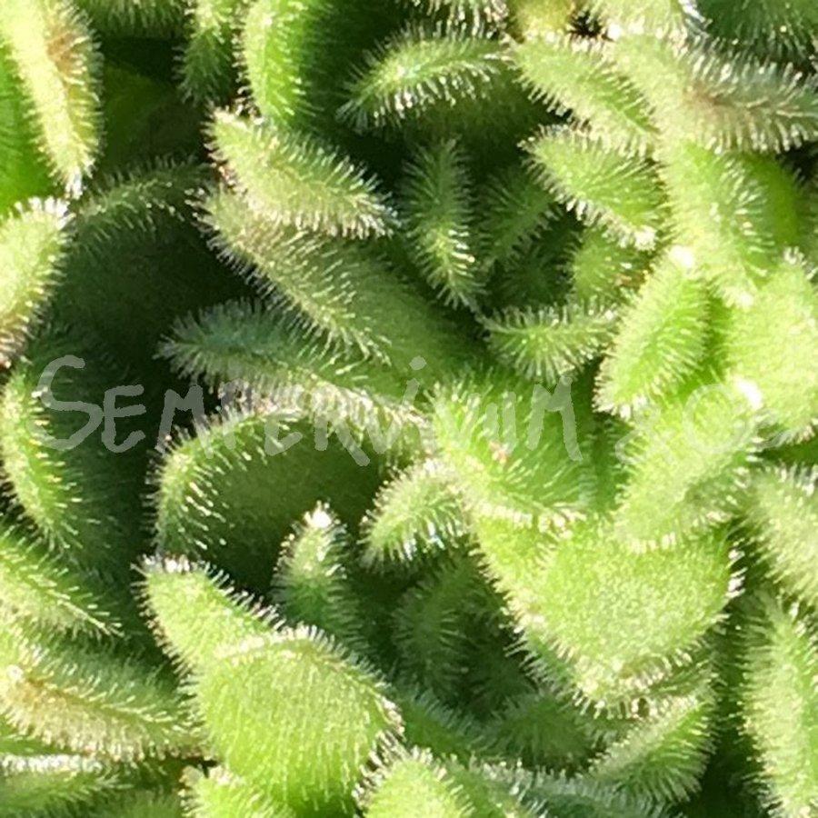prometheum aizoon rosularia plante succulente resistante au froid. Black Bedroom Furniture Sets. Home Design Ideas
