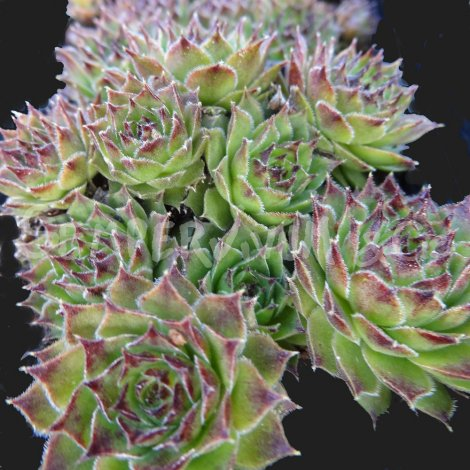 Sempervivum tectorum var. calcareum Avril