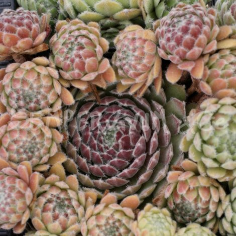 Sempervivum 'Raspberry Ice' Avril