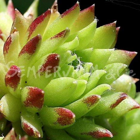 Sempervivum arachnoïdeum var. glabrescens avril