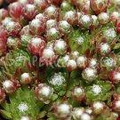 Sempervivum arachnoïdeum 'Miniera' avril