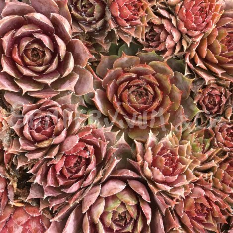 Sempervivum 'Pacific Blue Ice' Printemps (Mars)