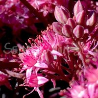 Hylotelephium 'Mahogany Red'