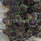 Sempervivum 'Silberkarneol' Printemps (Mars)