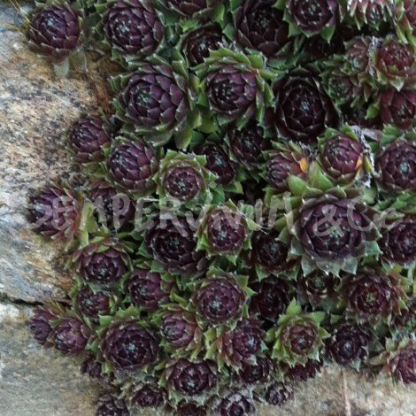 Sempervivum 'Silberkarneol' Printemps (Mars)