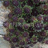 Sempervivum 'Silberkarneol'