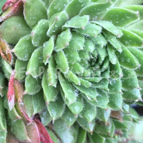 Sempervivum 'Tordeur's Memory' Printemps (Avril)