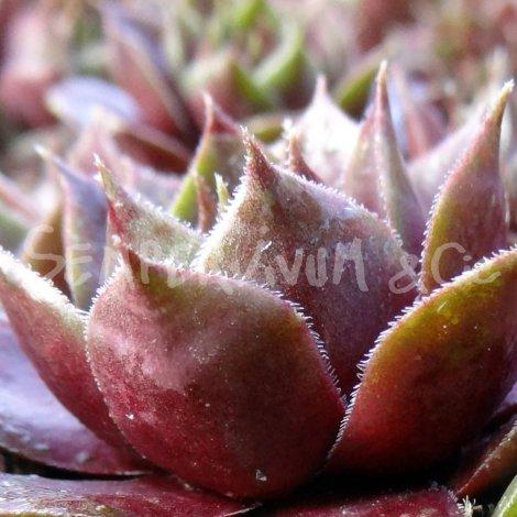 Sempervivum 'Violaceum' Eté (Juillet)