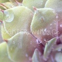 Sempervivum 'Violaceum'