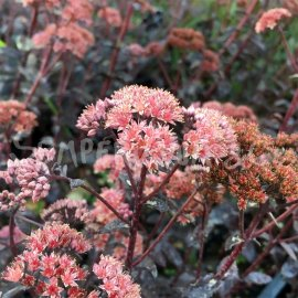 Hylotelephium 'Orbit Bronze' automne (Septembre)