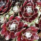 Sempervivum arachnoideum x montanum 'Rubrum' avril