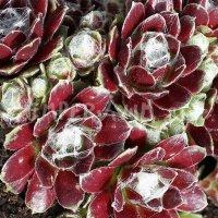 Sempervivum arachnoideum x montanum 'Rubrum'