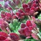 Sempervivum 'Terracotta Baby' Ete (Juillet)